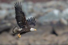 Eagle Soaring calvo giovanile Fotografie Stock