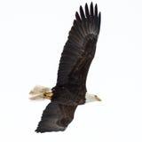 Eagle Soaring calvo sobre el lago Fotografía de archivo libre de regalías
