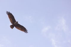 Eagle soaring high wide open in the blue sky Royalty Free Stock Images