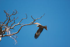 Eagle soaring and looking down with a blue sky Stock Photography
