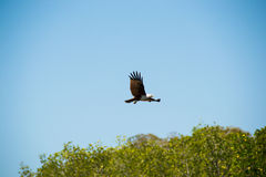 Eagle soaring and looking out for prey Royalty Free Stock Photo