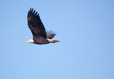 An eagle soars in blue sky. One eagle with white head and brown feathers soars through an empty cloudless blue sky Royalty Free Stock Photography