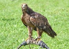 Eagle sobre el caballete del halconero durante una demostración Imagen de archivo