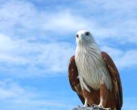 Eagle sobre la tierra con el fondo del cielo azul Fotografía de archivo libre de regalías