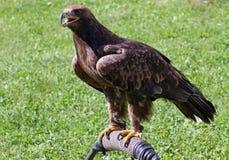 Eagle sobre o cavalete do falcoeiro Fotografia de Stock Royalty Free