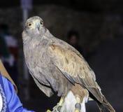 Eagle som är verklig i Bocairent, Spanien Arkivbilder