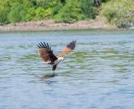 Eagle som fångar ett rov Royaltyfri Fotografi