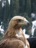 Eagle som loking till bergen Arkivfoto