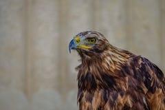 Eagle som nära håller ögonen på rovet royaltyfri fotografi