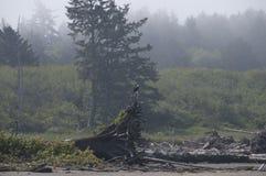 Eagle som vilar på drivved på kusten på den Rialto stranden Olympisk nationalpark, WA Arkivfoton