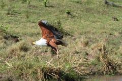 Eagle sopra Mara Fotografia Stock