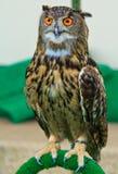 Eagle sowa Zdjęcie Stock