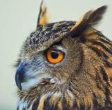 Eagle sowa Zdjęcie Royalty Free