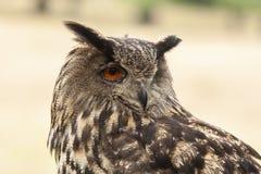 Eagle sowa, dymienicy dymienica, ptak zdobycz fotografia royalty free