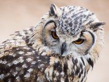 Eagle sowa fixedly patrzeje z swój dużą pomarańcze ono przygląda się Zdjęcia Royalty Free