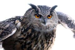 Eagle sowa na początku lota obrazy royalty free