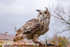 Eagle sowa, ptak zdobycz, ptak, myśliwy, sokolnictwo, natura, zwierzęta, belfer, oczy, skrzydła, Obrazy Stock