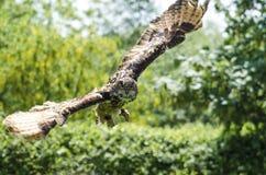 Eagle sowa w locie Obrazy Stock