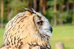 Eagle sowa (zbliżenie) Zdjęcie Royalty Free
