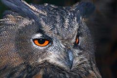 Eagle sowy belfer i oczy fotografia royalty free
