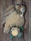Eagle sowy dymienicy dymienica obraz royalty free