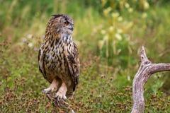Eagle sowy dymienicy dymienica obrazy royalty free