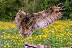 Eagle sowy dymienicy dymienica obrazy stock
