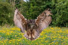 Eagle sowy dymienicy dymienica fotografia stock
