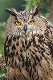Eagle sowy Gapić się Zdjęcie Stock