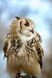 Eagle sowy obsiadanie Fotografia Stock