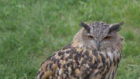 Eagle sowy portret zdjęcie wideo
