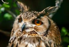 Eagle sowy portret Zdjęcie Stock