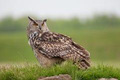 Eagle sowy pozycja na trawiastym kopu Ptak zdobycz natury wizerunku wi Zdjęcia Stock