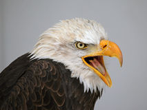 Eagle Speaking calvo fotografía de archivo libre de regalías