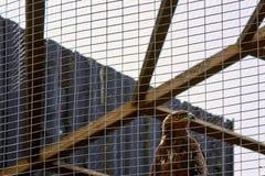 Eagle sperrte hinter Gittern ein Stockbild