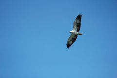 Eagle spinning in the air. Looking for the food Stock Photos