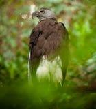 Eagle spojrzenie Zdjęcie Stock