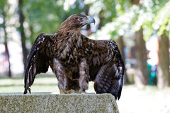 Eagle spreads its wings Stock Photo