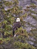 Wild Eagle in the Spruce Tip Pine Royalty Free Stock Photos