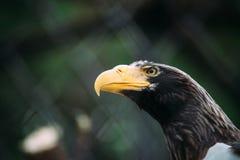Eagle stående med den gula näbb Royaltyfria Bilder
