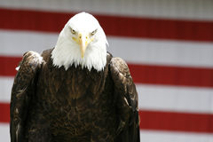 Eagle Stalking Royalty Free Stock Photography