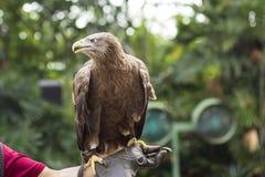 Eagle Standing auf der Hand des Trainers in der Vogelshow Lizenzfreie Stockfotos