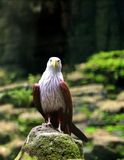 Eagle standing and waiting for prey Stock Photography