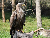 Eagle standing on wood wildlife Royalty Free Stock Photos