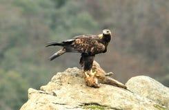 Eagle-Stangen auf dem Fuchs Lizenzfreie Stockfotografie