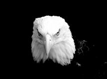 Eagles Gaze. Black and white Eagle staring into the camera with a deep powerful gaze Stock Images