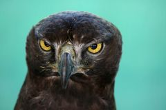Eagle Stare Royalty Free Stock Photo