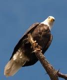 Eagle Staring imagenes de archivo