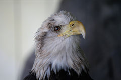Eagle starrt zurück von seinem Käfig an Stockfotos