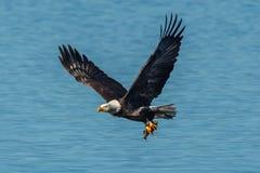 Eagle steigt weg mit Fischen an Stockfotos